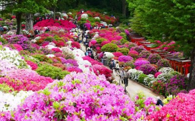 Most Beautiful Flower Garden Azelea in Japan
