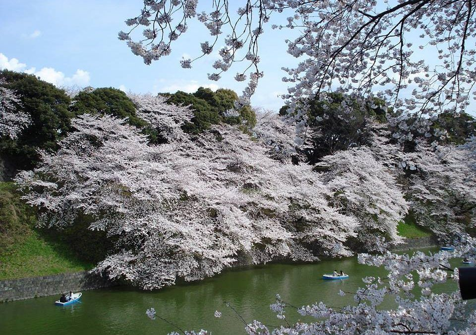 JAPAN DURING CHERRY BLOSSOM PERIOD
