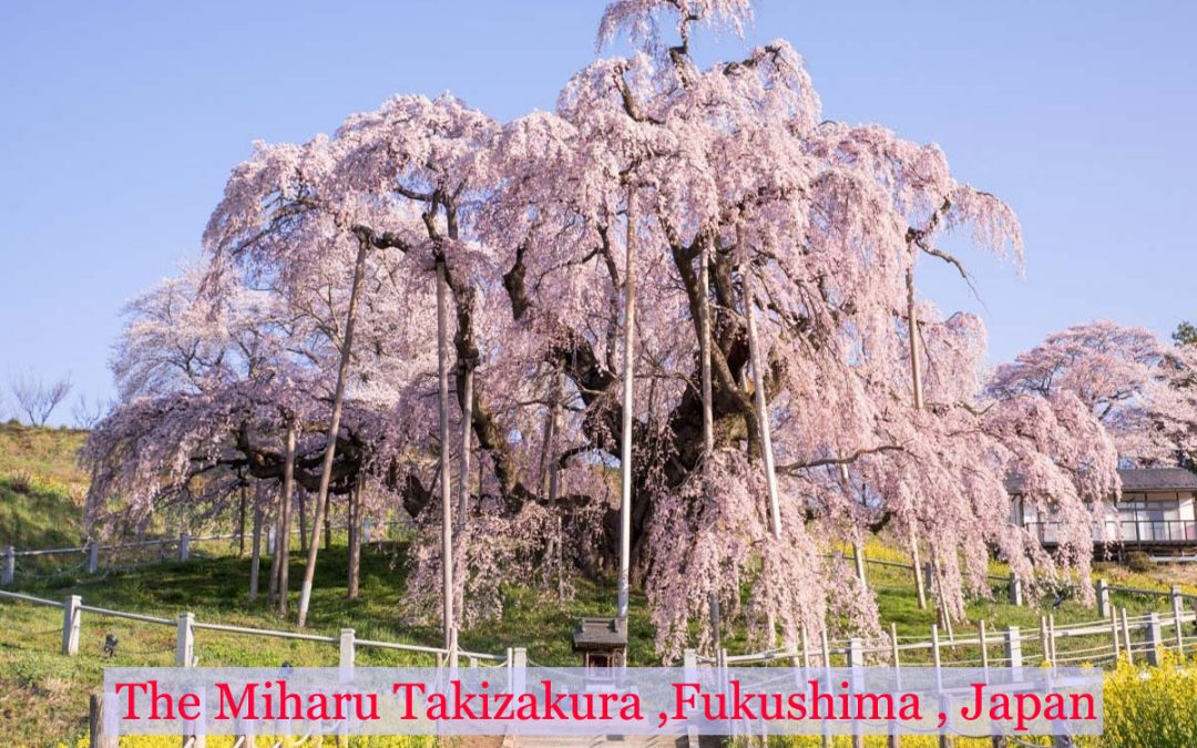 1000 – Year old cherry tree in Japan -Teach us when everything proves dead and later proves to be alive